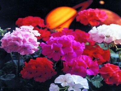 Flower 15 Seeds - 15 Geranium Seeds Saturn Mix flower seeds