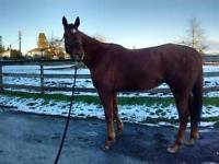 "Adult Male Horse - Thoroughbred: ""I'm Famous"""