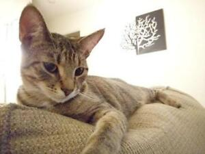 "Young Female Cat - Domestic Short Hair (Gray): ""Nicky"""