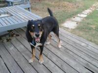 "Adult Female Dog - Rottweiler-Husky: ""Jada"""