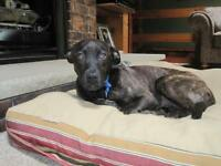 "Young Female Dog - Dutch Shepherd: ""Bella"""