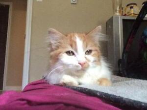 """Young Male Cat - Domestic Long Hair - buff and white: """"Binkie"""""""
