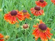 Helenium Plants
