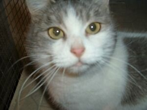 "Adult Female Cat - Domestic Short Hair - gray and white: ""Gabby"""