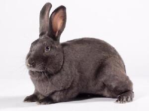 "Adult Male Rabbit - Bunny Rabbit: ""Henry"""