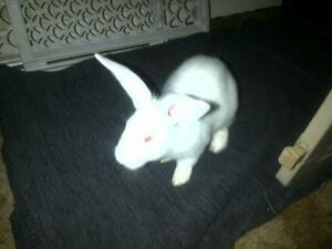 "Adult Female Rabbit - New Zealand: ""Aurora"""