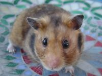 Young hamster in desperate need of a home