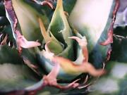 Agave Variegated