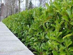 10 Cherry Laurel 2-3ft Multi-Stemmed Prunus Rotundifolia, Evergreen Hedging