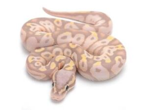 Looking for a ball pythons with a unique morph!
