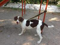 """Young Male Dog - Spaniel: """"Max"""""""