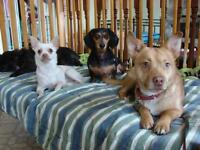 """Young Male Dog - Chihuahua-Terrier: """"Forrest - FOSTER NEEDED"""""""