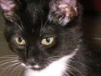 Young Female  - Tuxedo-Domestic Short Hair-black and white
