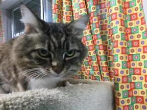 "Senior Male Cat - Domestic Medium Hair: ""Simba"""