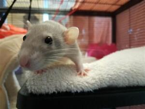 """Baby Female Small & Furry - Rat: """"Libby"""""""