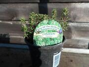 Thyme Plants