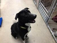 "Adult Female Dog - Labrador Retriever-Pit Bull Terrier: ""Spike"""