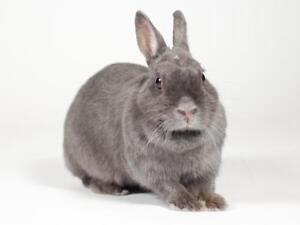 "Young Female Rabbit - Dwarf: ""Audrey"" Kingston Kingston Area image 2"
