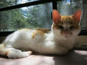 """Young Male Cat - Domestic Short Hair: """"Milo"""""""