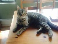 "Young Female Cat - Domestic Short Hair-Tabby - Brown: ""Lola"""