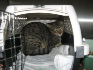 """Adult Female Cat - Tabby: """"Feral Cats"""""""