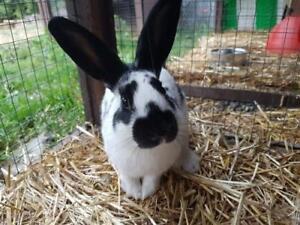 "Adult Male Rabbit - Dutch: ""Doozie"""