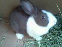 female dutch rabbit