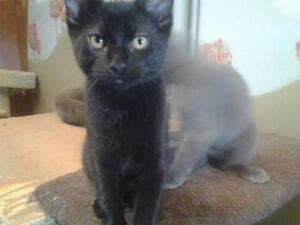 """Young Male Cat - Domestic Short Hair-black: """"Willis"""""""