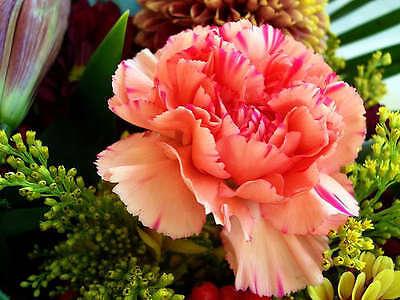 50 PINK ROSE CARNATION Caryophyllus Grenadin Flower Seeds + Gift & Comb S/H
