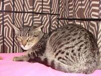 "Adult Female Cat - Tabby - Brown: ""IVY"""