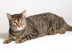 "Adult Female Cat - Domestic Short Hair: ""Scarlet"""
