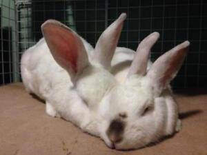 "Adult Male Rabbit - Californian: ""Mufasa and Bijou"""