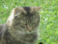 """Adult Female Cat - Domestic Long Hair-Tabby - Brown: """"Ivy"""""""