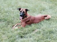 "Adult Female Dog - Shepherd: ""Roxy"""