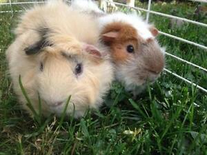 "Young Male Small & Furry - Guinea Pig: ""Todd and Nigel"""