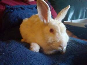 "Young Female Rabbit - Rex: ""Ceres"""