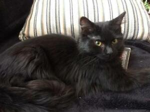 "Young Female Cat - Domestic Long Hair-black: ""Huffy"""