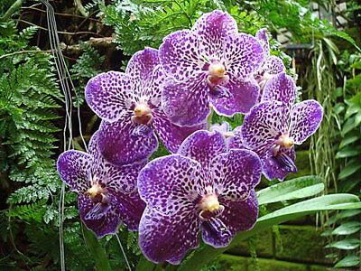 Vanda Wirat X Gordon Dillon  Orchid Plant