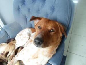 """Young Male Dog - Hound-Retriever: """"Jersey"""""""