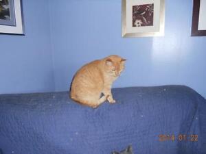 "Adult Female Cat - Domestic Short Hair-orange: ""Beige"""