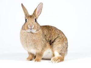 "Adult Female Rabbit - Dwarf: ""Easter"""