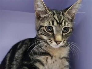 """Young Male Cat - Domestic Short Hair: """"Griffin"""""""