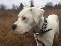 "Young Male Dog - Dogo Argentino: ""Nux"""