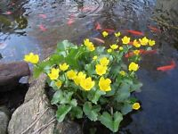 Marginal pond plant, MARSH MARIGOLD, producing yellow flowers, supplied