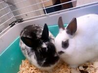 "Young Male Rabbit - Dwarf: ""Jersey & Rio (BONDED)"""