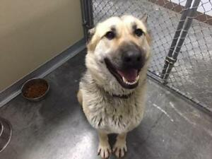 "Adult Female Dog - German Shepherd Dog-Husky: ""Bonnie"""