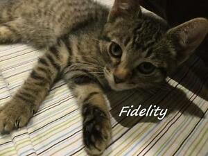 "Young Female Cat - Domestic Short Hair: ""Fidelity"""