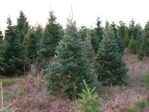 Evergreen Spruce Trees & Maples For Sale