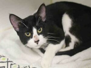 "Adult Male Cat - Domestic Short Hair: ""CARTER"""