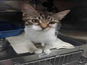 "Young Female Cat - Domestic Short Hair: ""MAY"""
